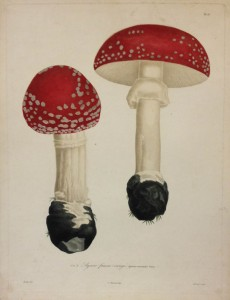 Agaric fausse-oronge